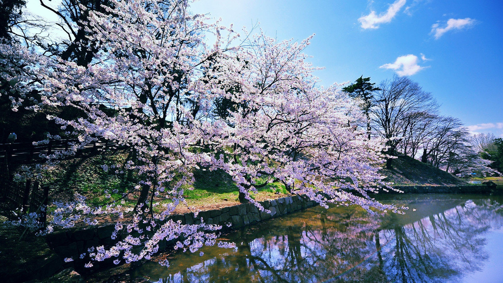 Japanese cherry blossoms wallpaper - 1600x900