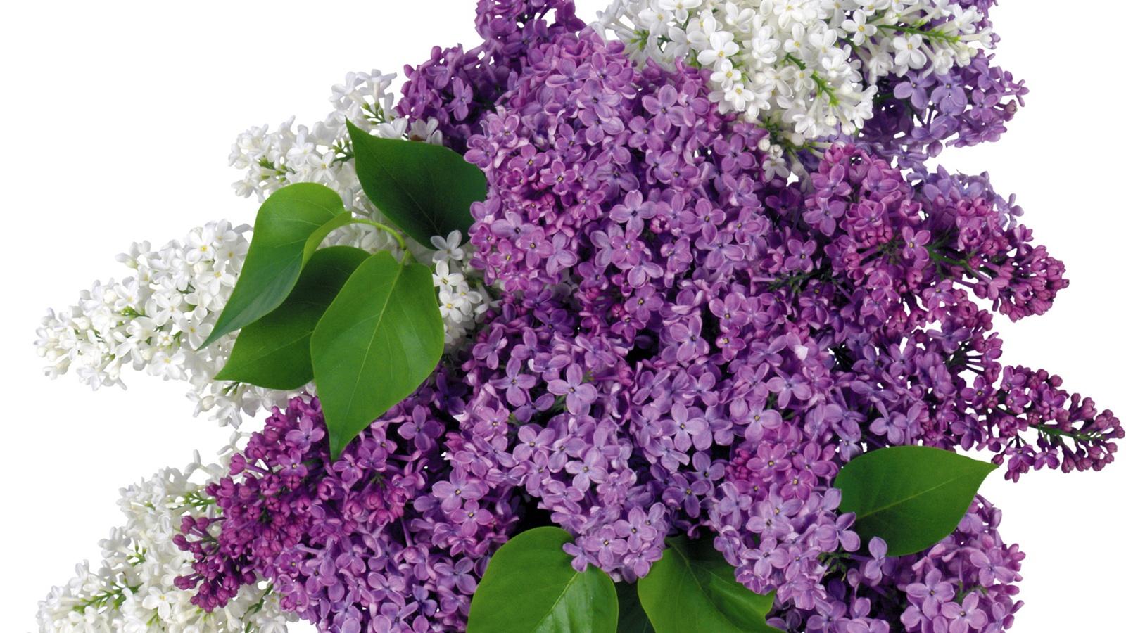 Fonds d 39 cran t l charger 1600x900 fleurs lilas fond hd for Bouquet de fleurs lilas