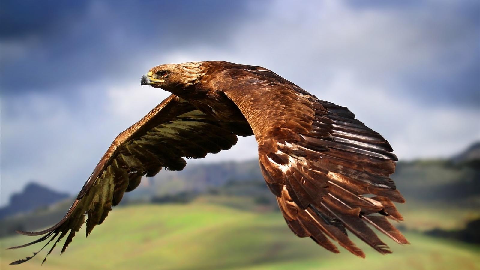 Aigle Qui Vole Dans Le Ciel Fonds D écran 1600x900 Description