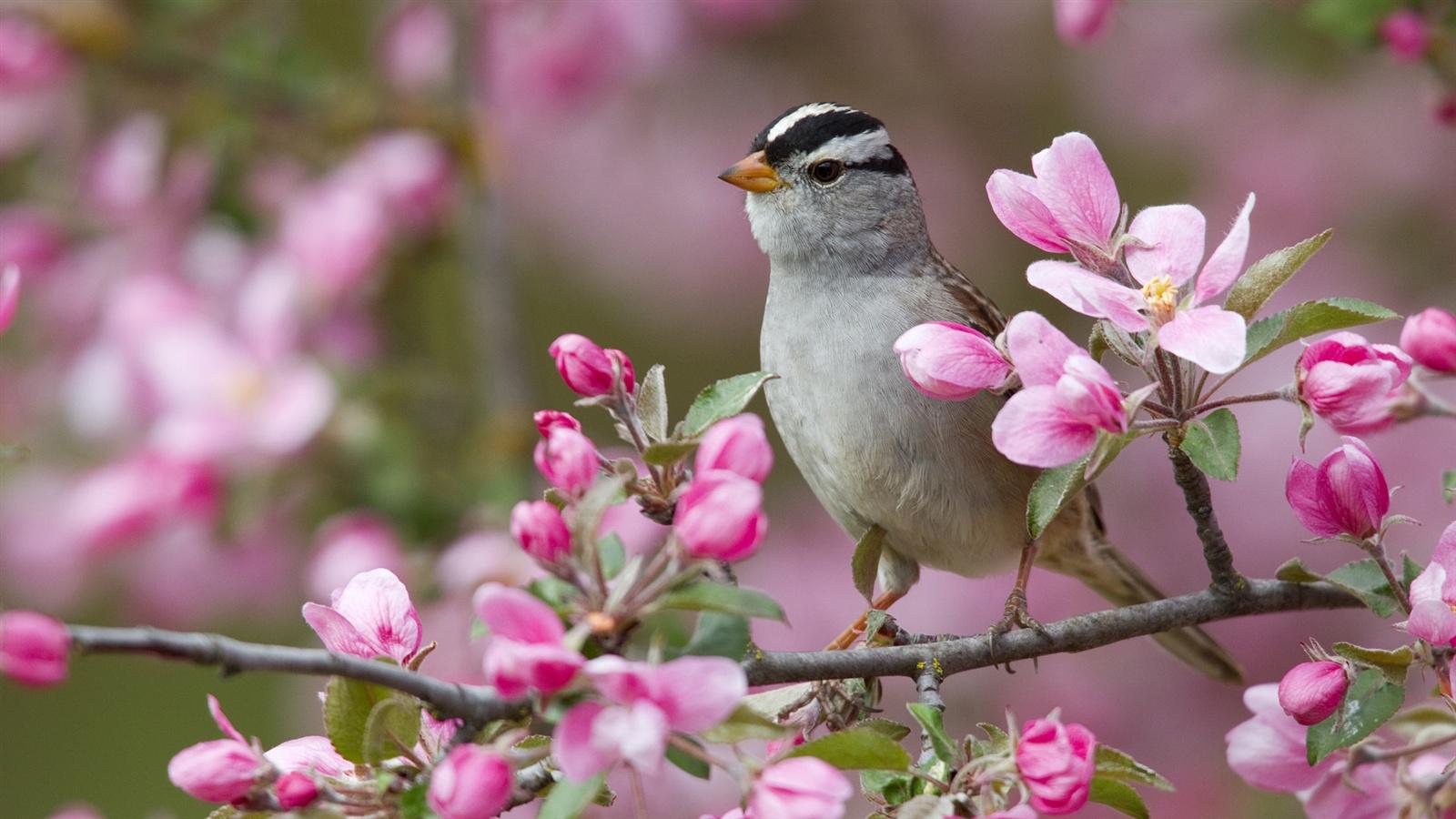 Fleur de pêcher printemps et les oiseaux fonds d'écran - 1600x900
