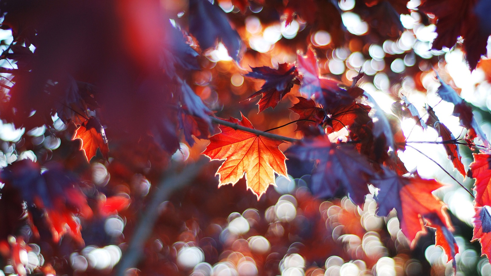 Labels Red Autumn Leaves Photography Hd Wallpapers For: Wallpaper Autumn Leaves, Red Maple Leaves 1920x1200 HD