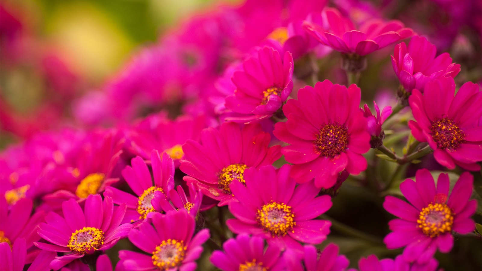 Fondos De Pantalla Flores Rosadas Crisantemo Fondo: Muitos Rosa Brilhante Crisântemo Papéis De Parede