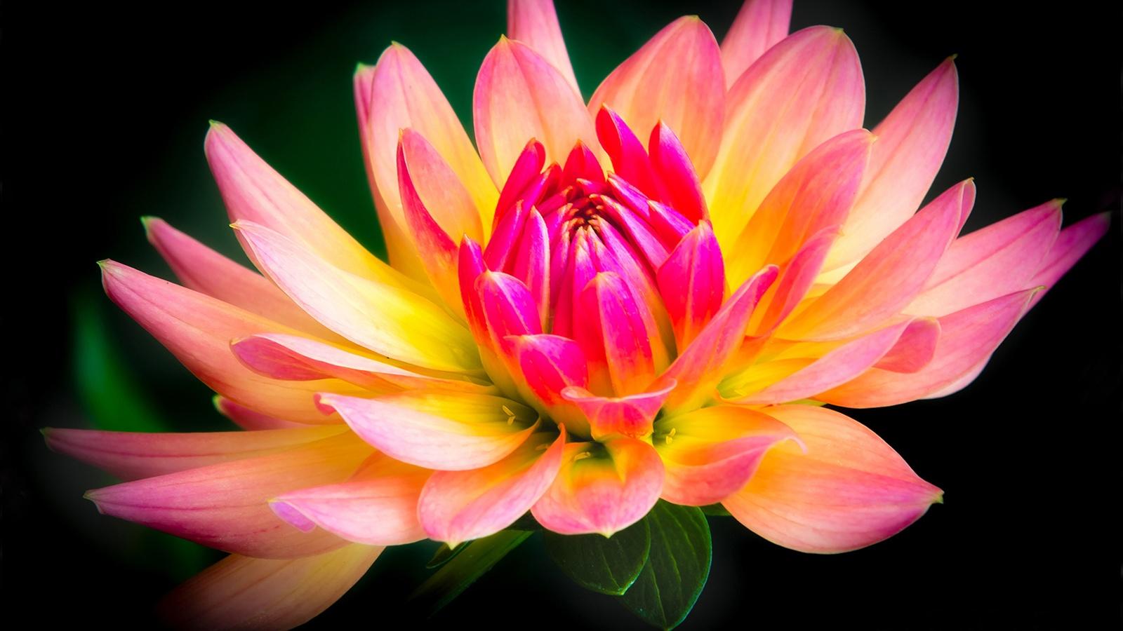 Flower Close-up, gelb und rosa, Dahlie, schwarzer ...