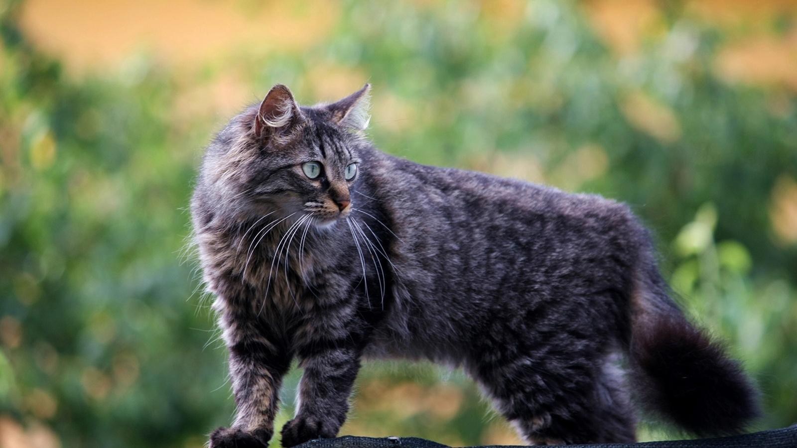 fluffy light gray cat - photo #40