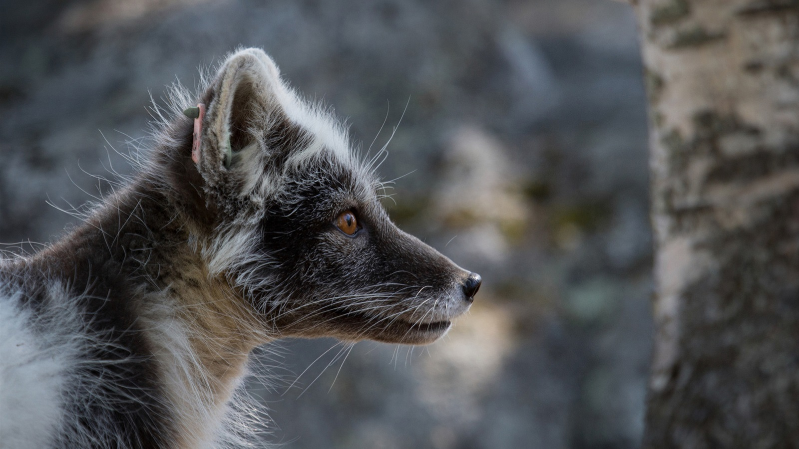 Wallpaper Side View Of Black Arctic Fox 1920x1200 Hd Picture Image