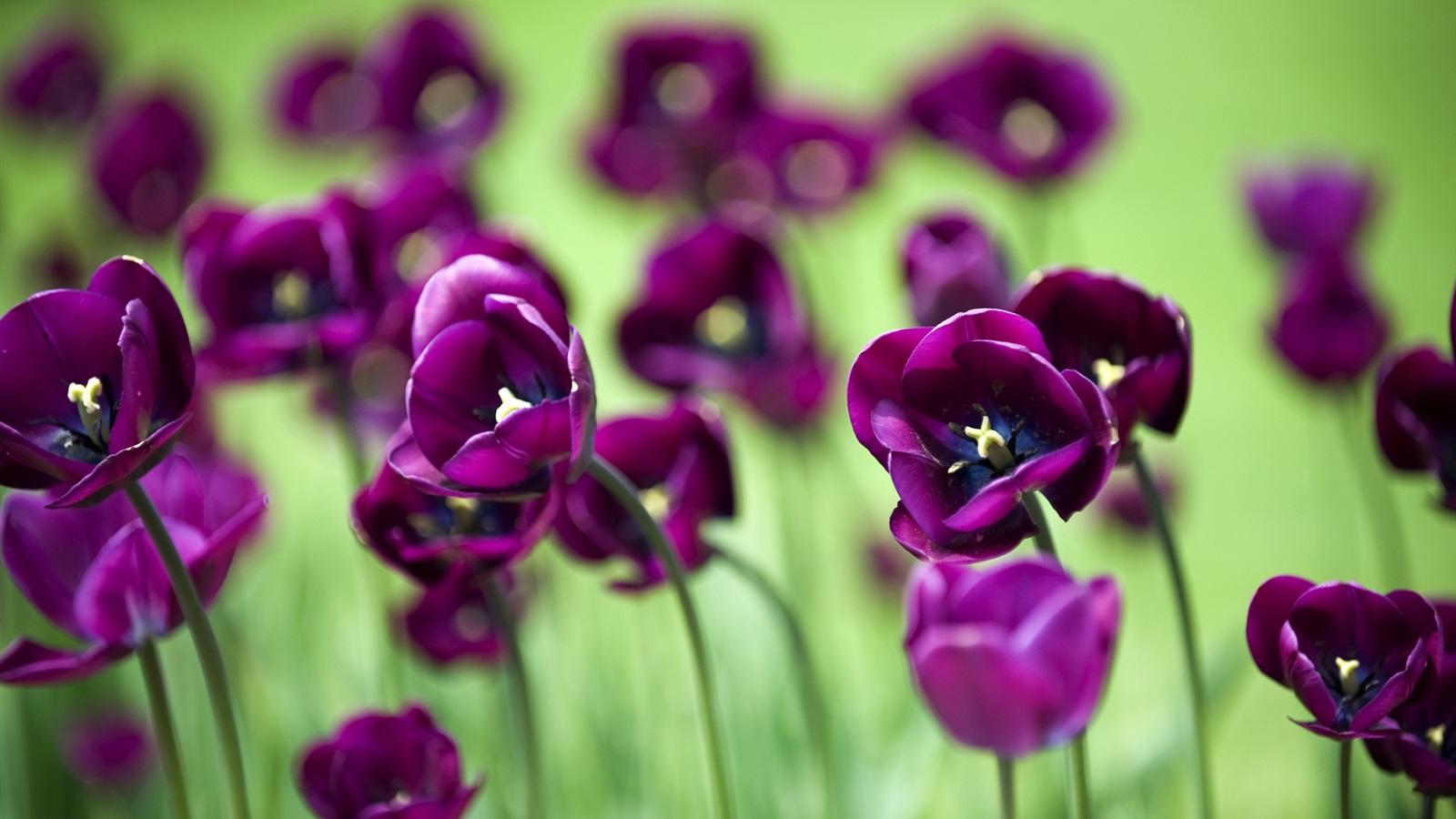 Adquiere Aqui Estos Fondos De Pantalla Con Flores Hermosas: Fondos De Pantalla Hermosas Flores De Tulipán Púrpura