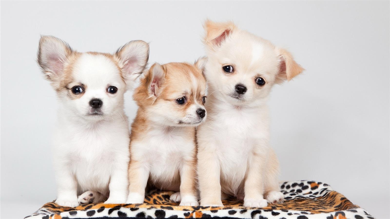 So cute puppies wallpaper 15897245 fanpop - Three Dogs Cute Wallpaper 1600x900 Resolution Wallpaper Download Cute Dogs Wallpaper