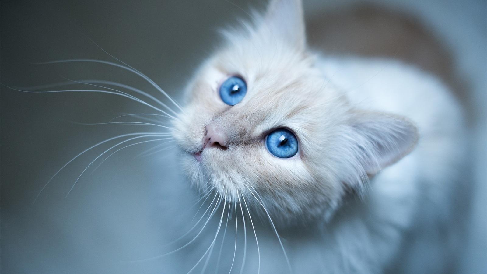 Burmese cat, blaue Augen, weiße Kätzchen Hintergrundbilder ...: de.best-wallpaper.net/burmese-cat-blue-eyes-white-kitten_1600x900.html