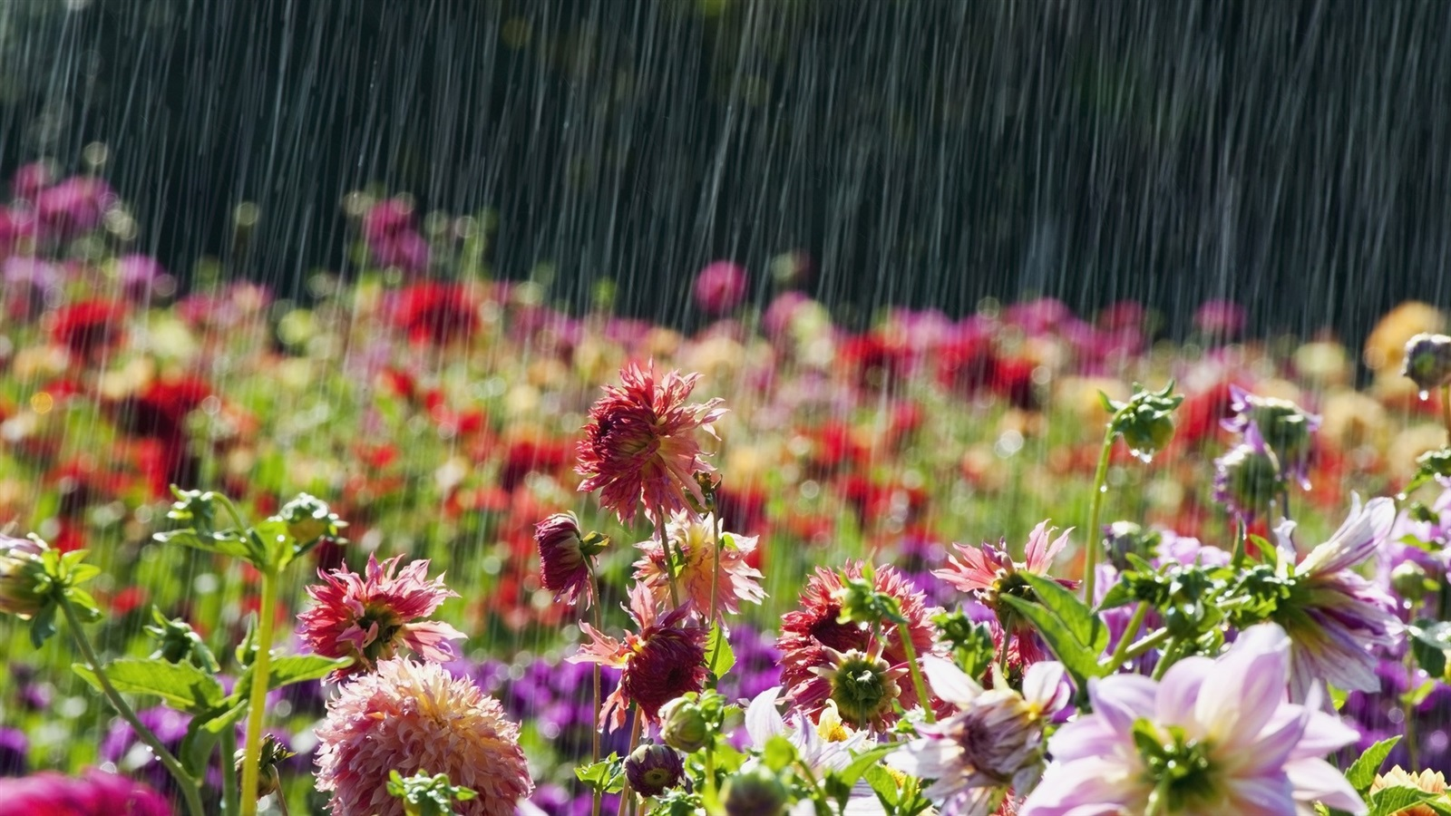 Fondos De Pantalla Flores Rosadas Crisantemo Fondo: Fondos De Pantalla Flores De Jardín, Lluvioso 1920x1080