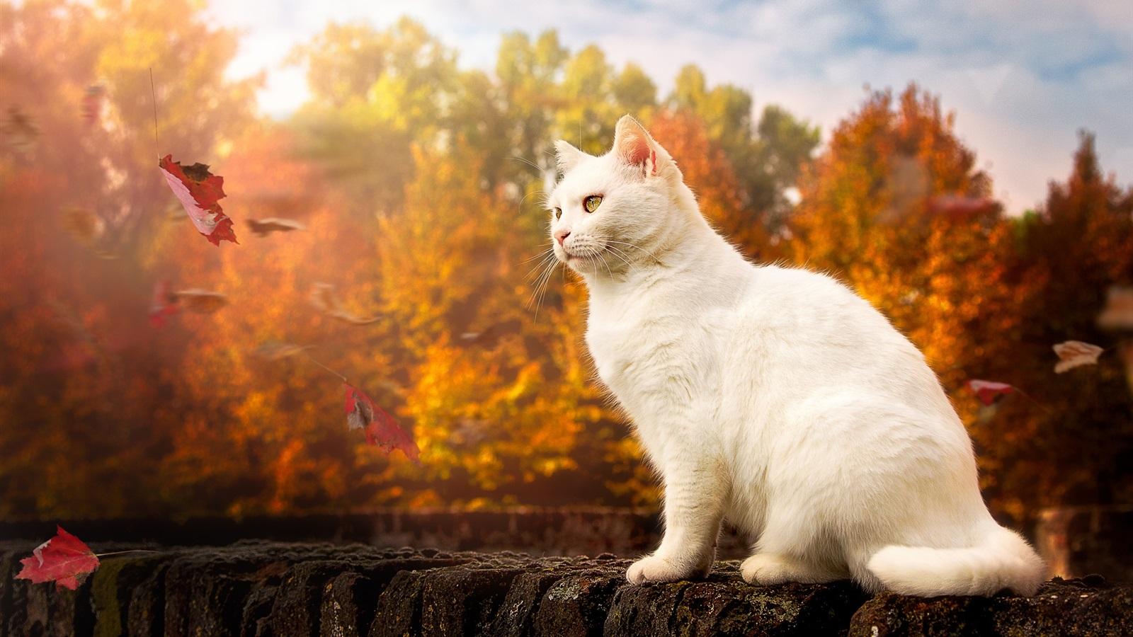 White cat, yellow eyes, autumn Wallpaper | 1600x900 ...