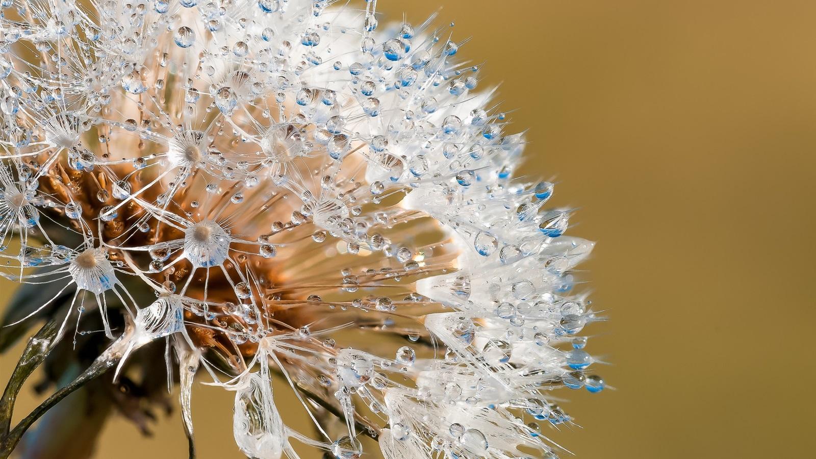 Dandelion Water Drops Macro Photography 640x1136 Iphone 5