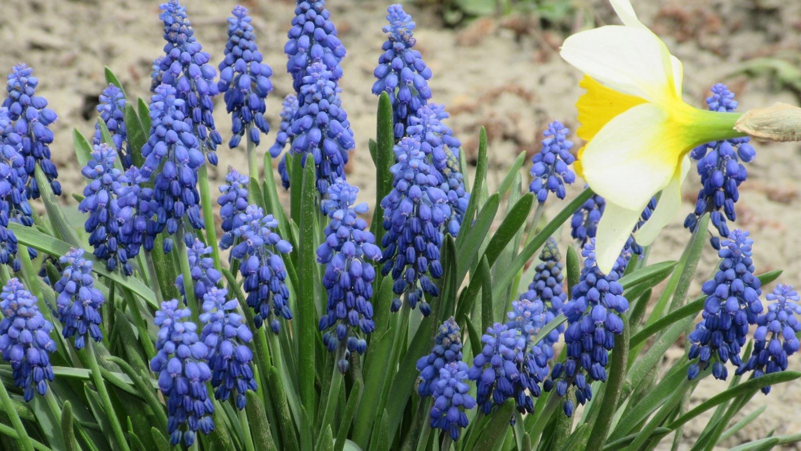 Обои цветы, Виноградный гиацинт, синие. Цветы foto 8