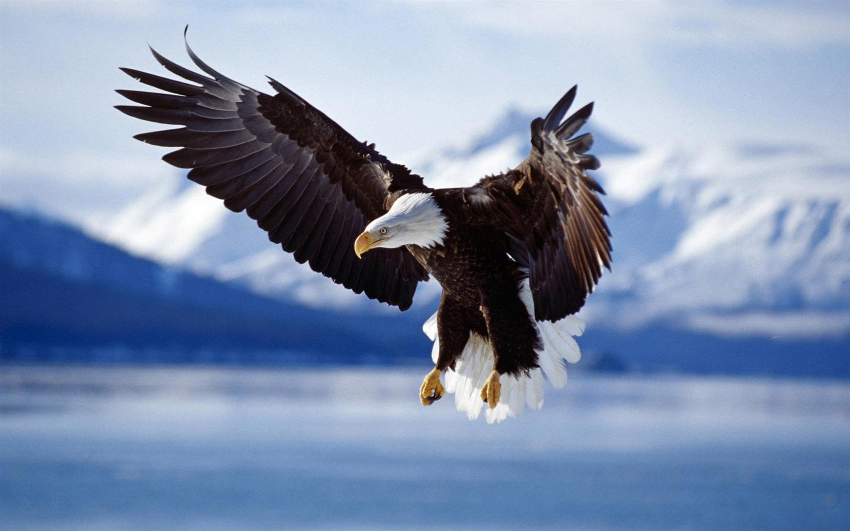 翱翔的老鹰背景-湖面上飞行的鹰 1680x1050