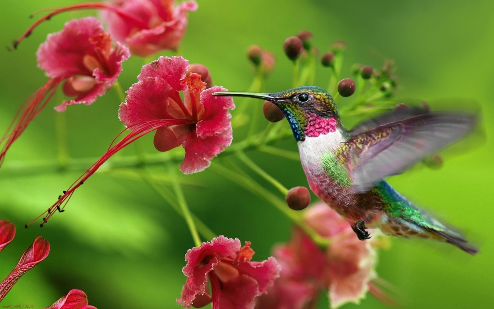 Kolibri blumen fliegen 1680x1050 hd hintergrundbilder hd for Fliegen in blumen bekampfen