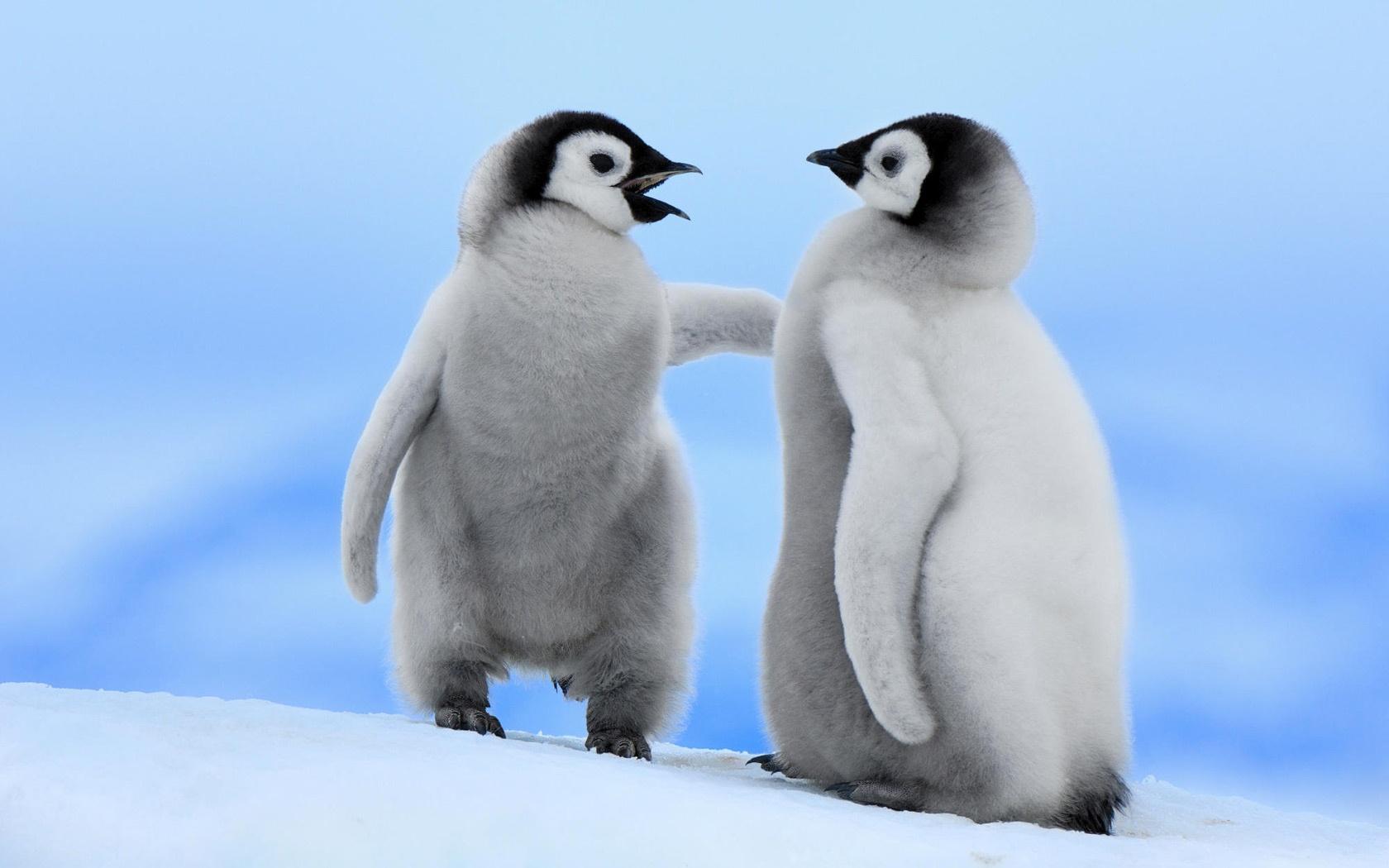 壁紙 二つの小さなペンギンの冬の雪 1680x1050 Hd 無料のデスクトップ