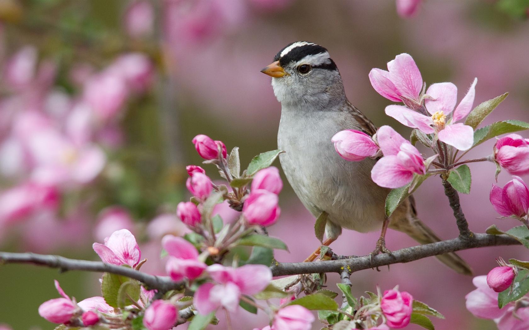Peach Blossom Frühling Und Die Vögel 1920x1080 Full Hd 2k