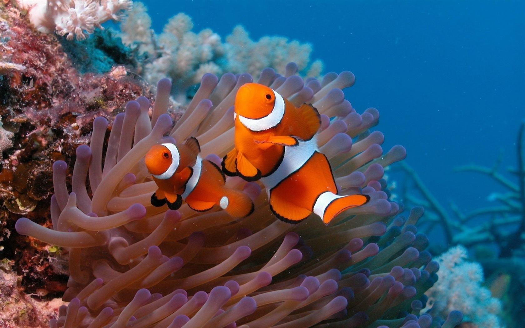 Подводный мир красивая рыба клоун