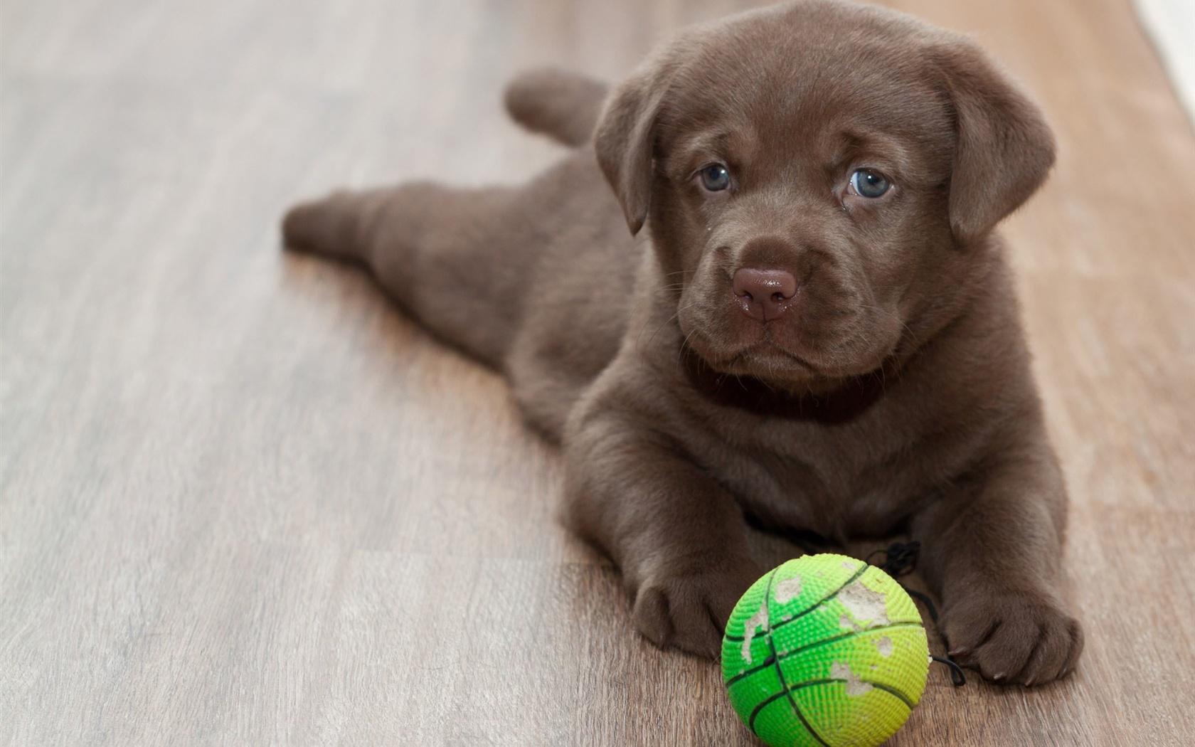 ラブラドール子犬、ボールをプレー 壁紙 - 1680x1050   ラブラドール子犬、ボールをプ