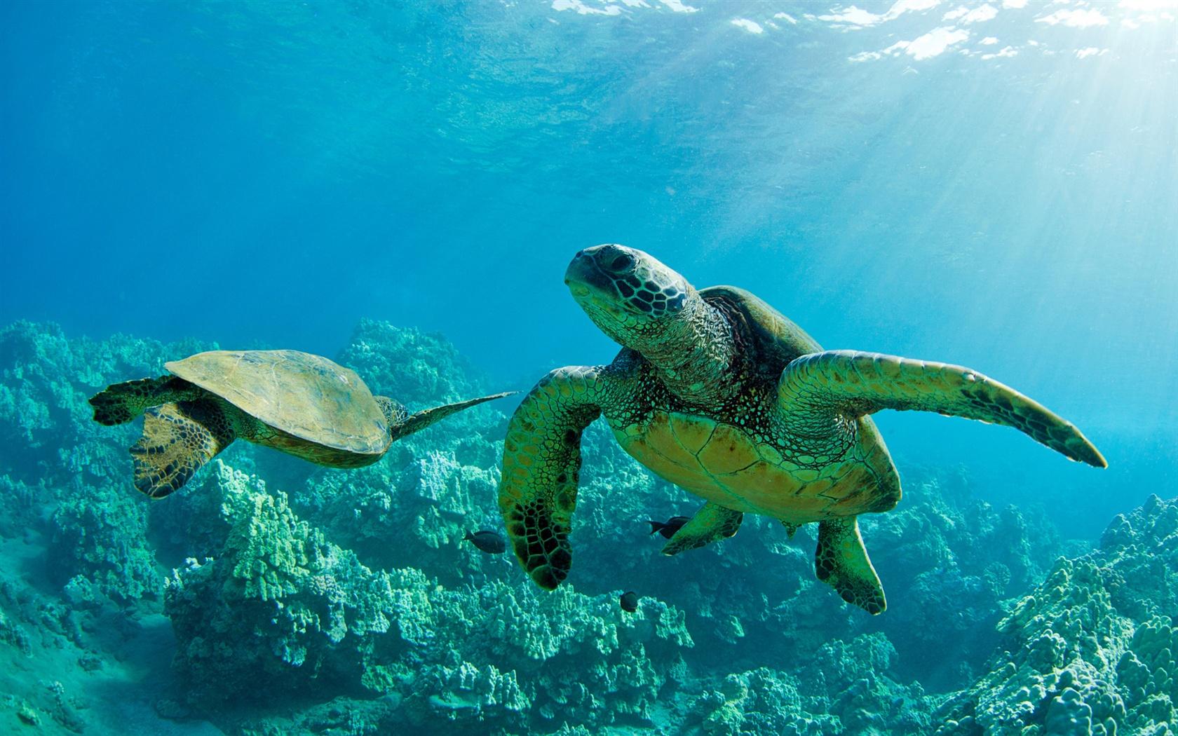 兩個綠海龜,在水下,珊瑚,毛伊島 壁紙 - 1680x1050