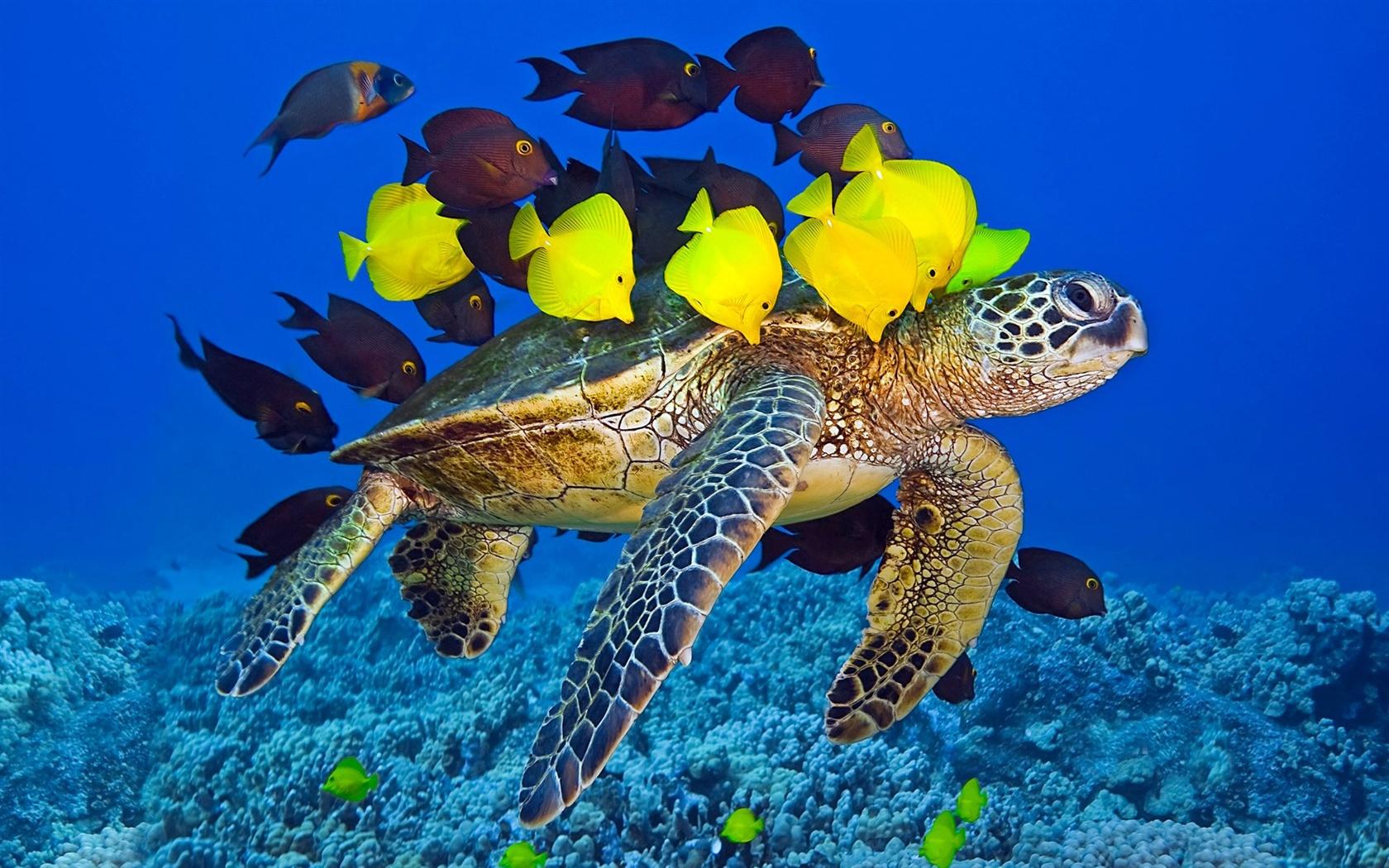 壁纸 海龟,海洋,水下,黄色和棕色的鱼 1920x1200 Hd 高清壁纸 图片 照片