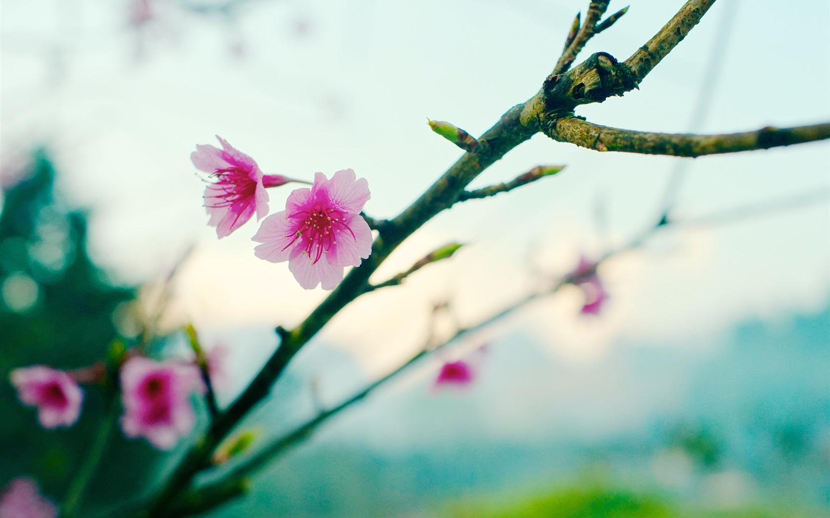 Wallpaper Spring Sakura Flower Bokeh 2560x1600 Hd Picture