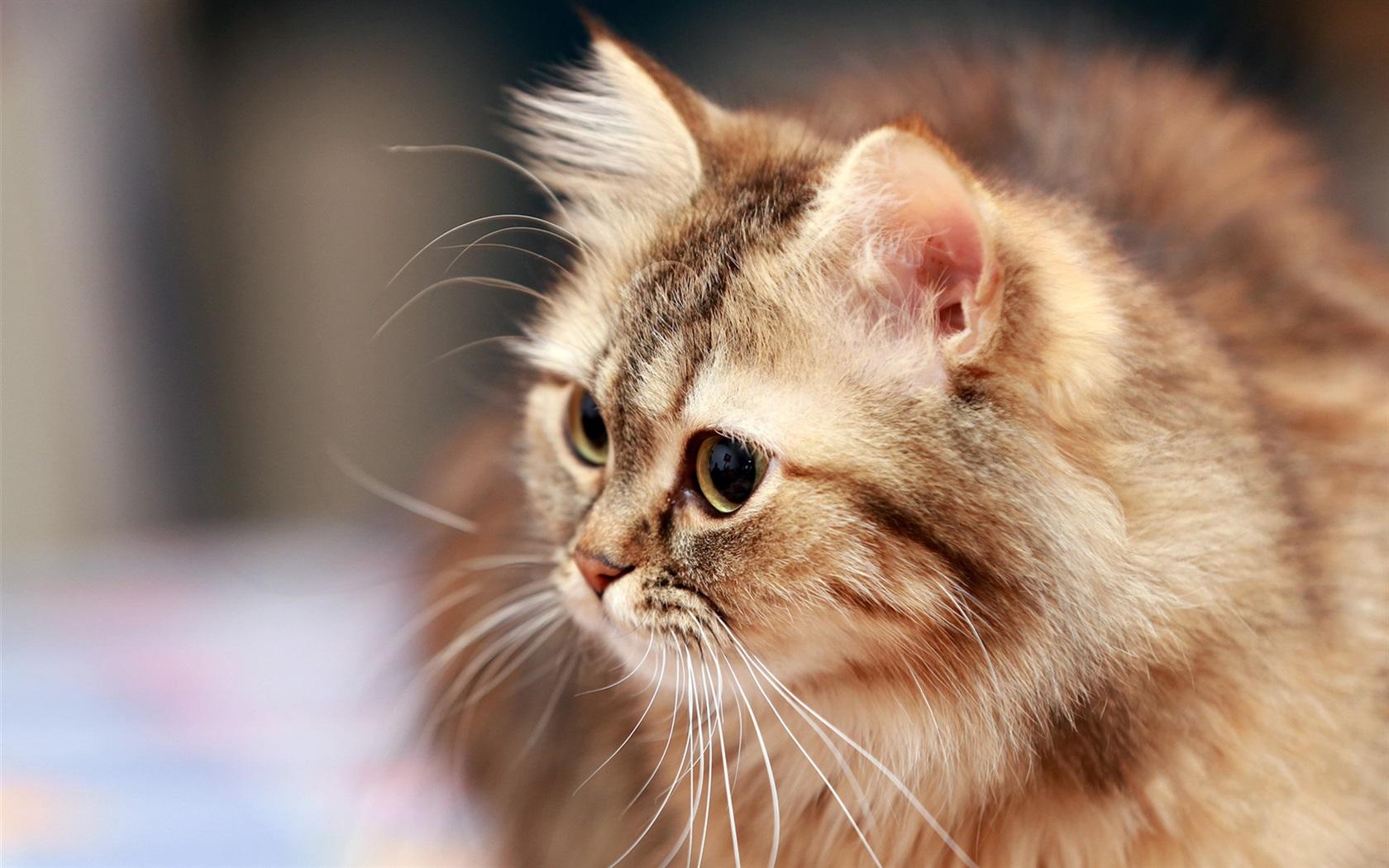 Fonds d 39 cran t l charger 1680x1050 chat fluffy moustache yeux fond hd - Herbe a chat seche ...
