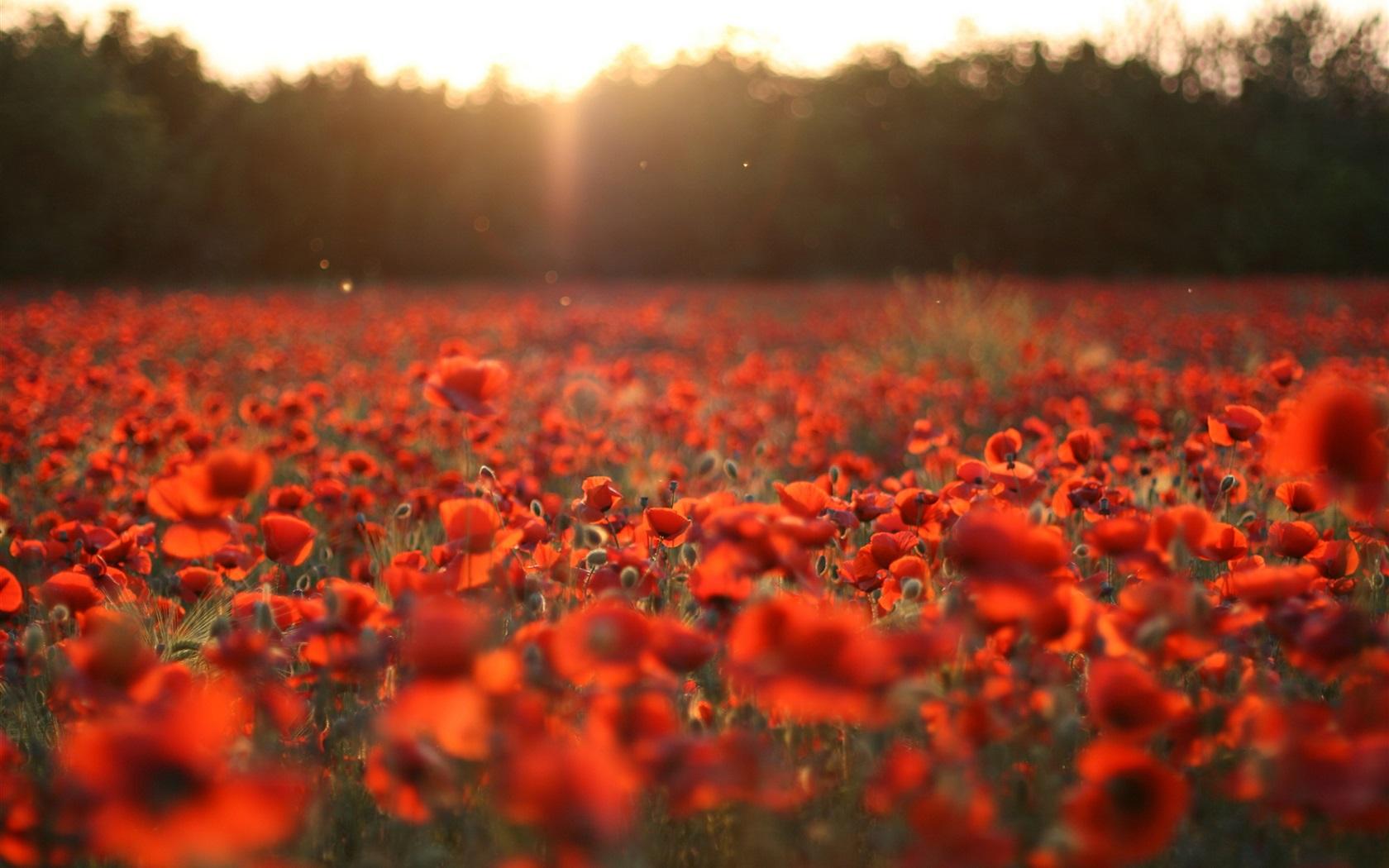 flowers field sun rays Wallpaper | 1680x1050 resolution wallpaper HD Wide Wallpaper for Widescreen