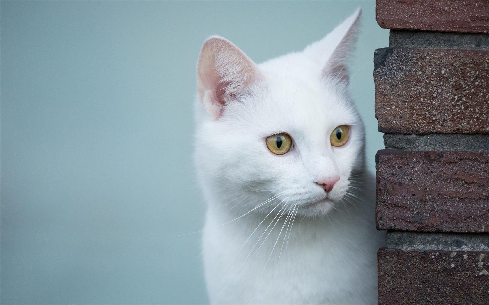 白猫,看,黄色的眼睛 壁纸图片