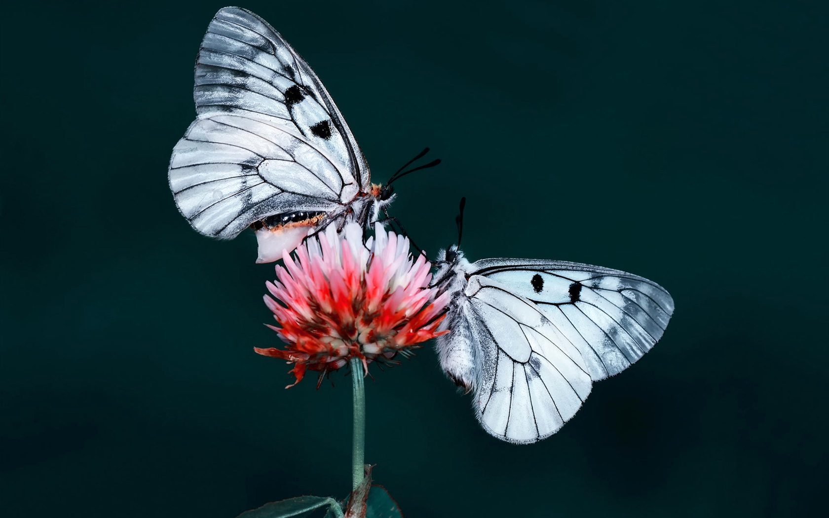 这是两只蝴蝶英文歌求大神帮忙下它的中文翻译图片