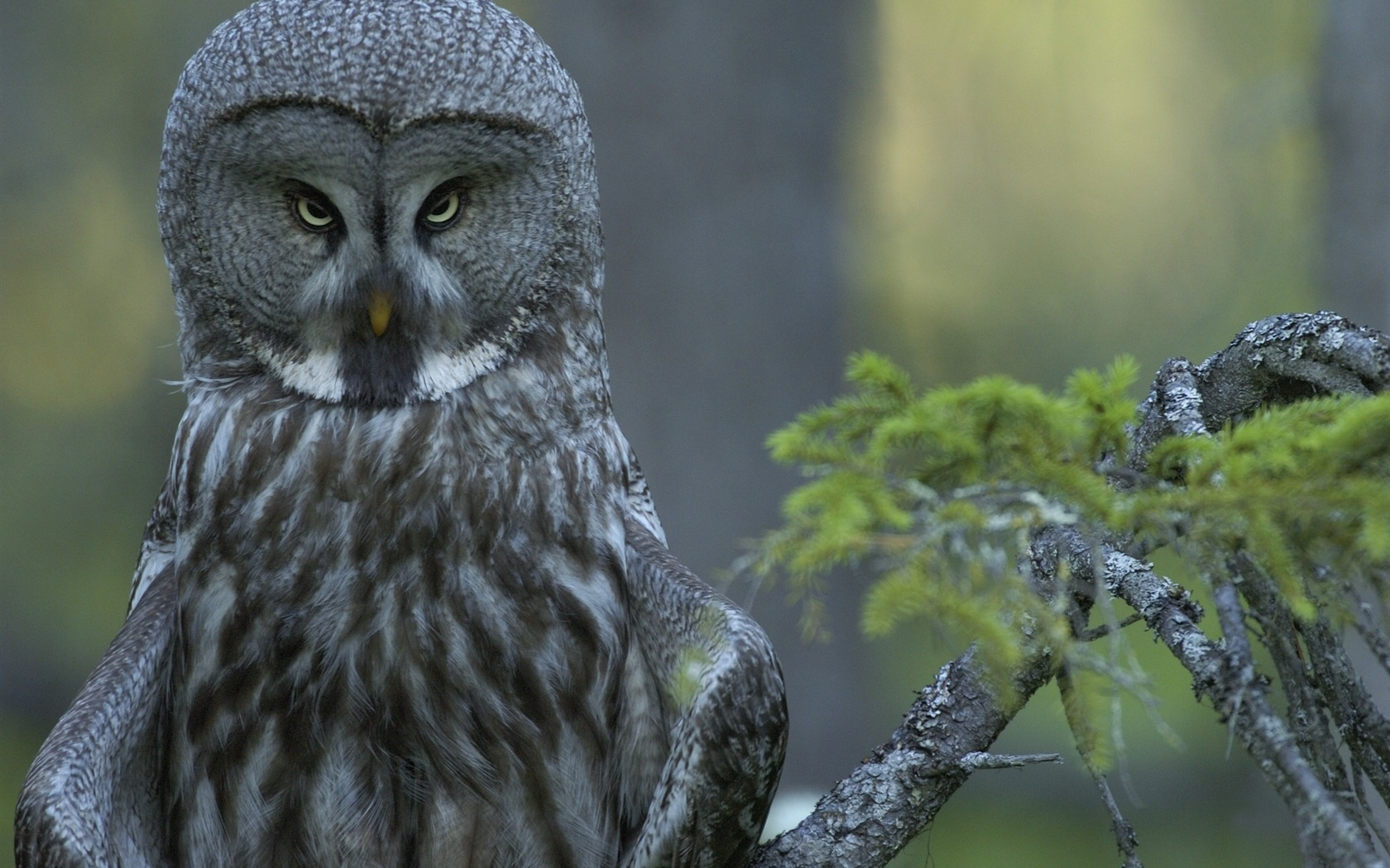 Download Wallpaper 1680x1050 Great gray owl in the forest ...