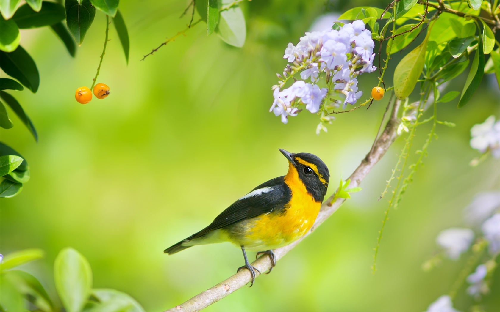 download wallpaper 1680x1050 japanese paradise flycatcher