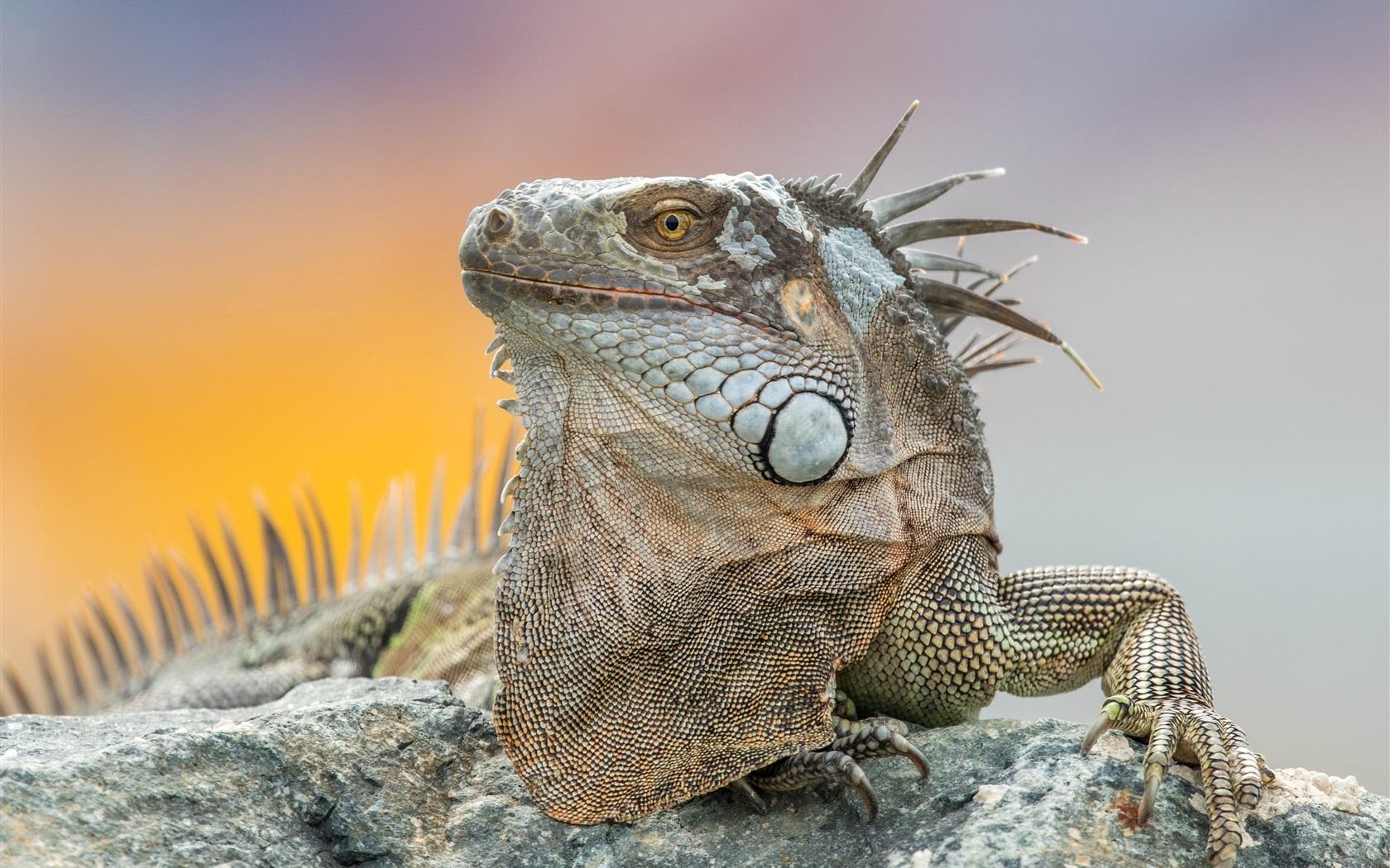 Fondos de pantalla iguana primer plano de animal - Best primer for wallpaper ...