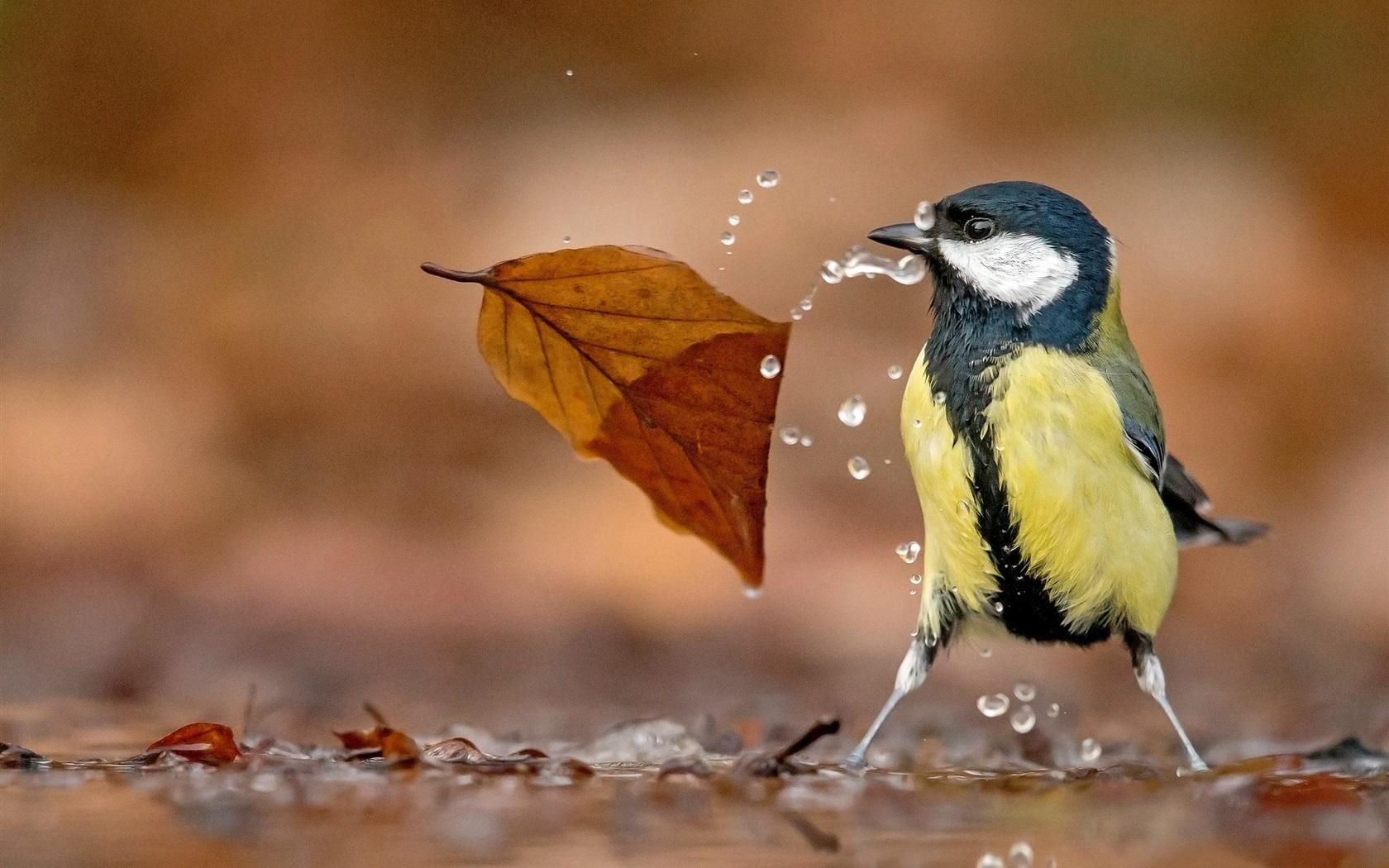 水滴和神仙,七彩山雀叶子壁纸鱼喂食可以繁殖吗图片