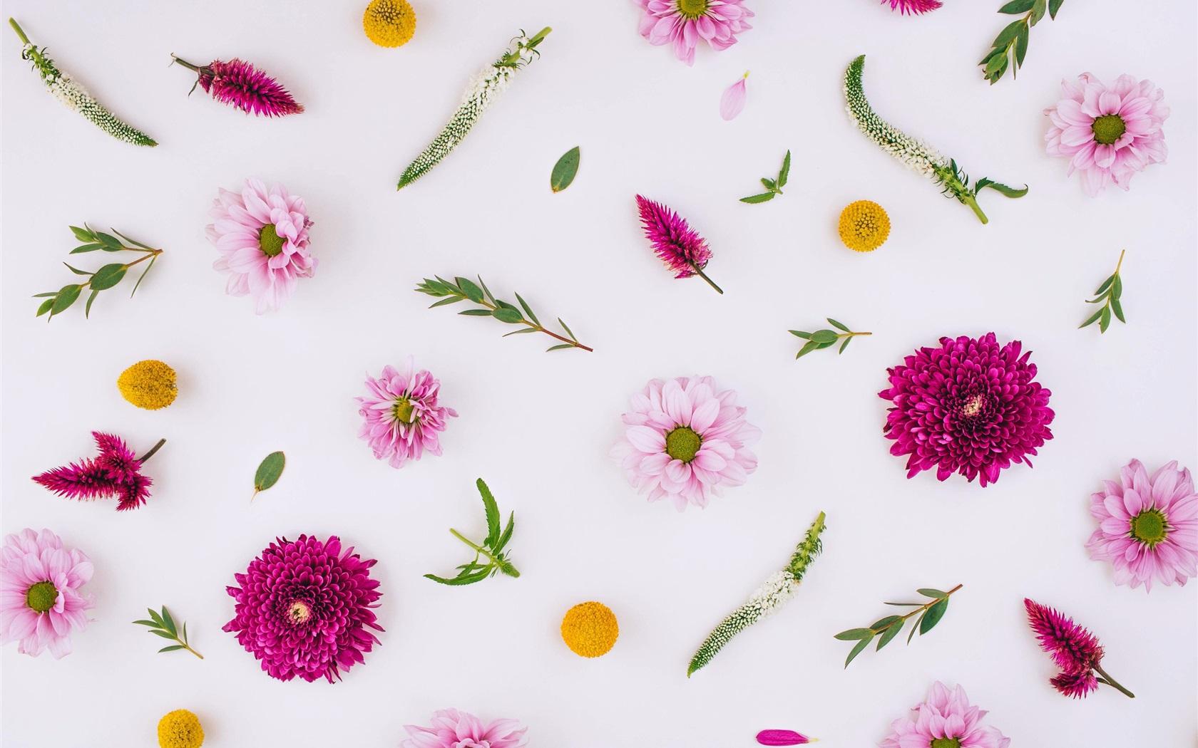 Fondos De Pantalla Hd Flores: Flores Rosadas, Crisantemo, Fondo Blanco Fondos De