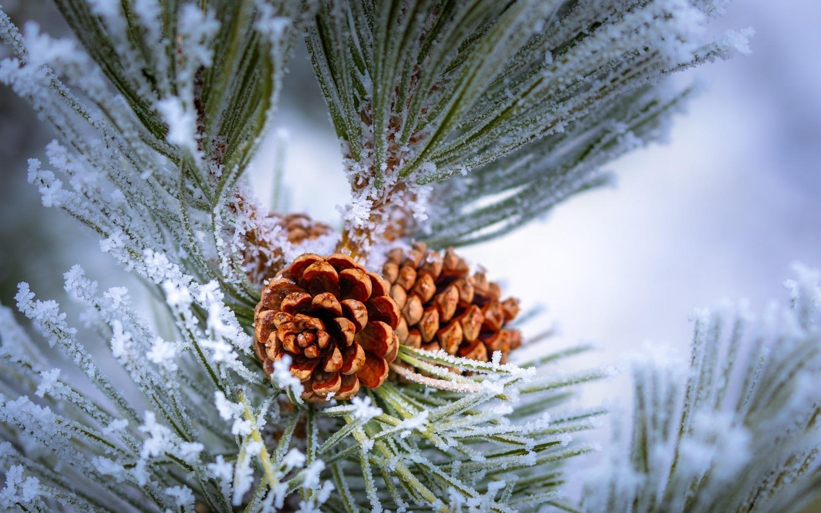 Wallpaper pine tree twigs frost winter 1920x1200 hd - Pine tree wallpaper iphone ...