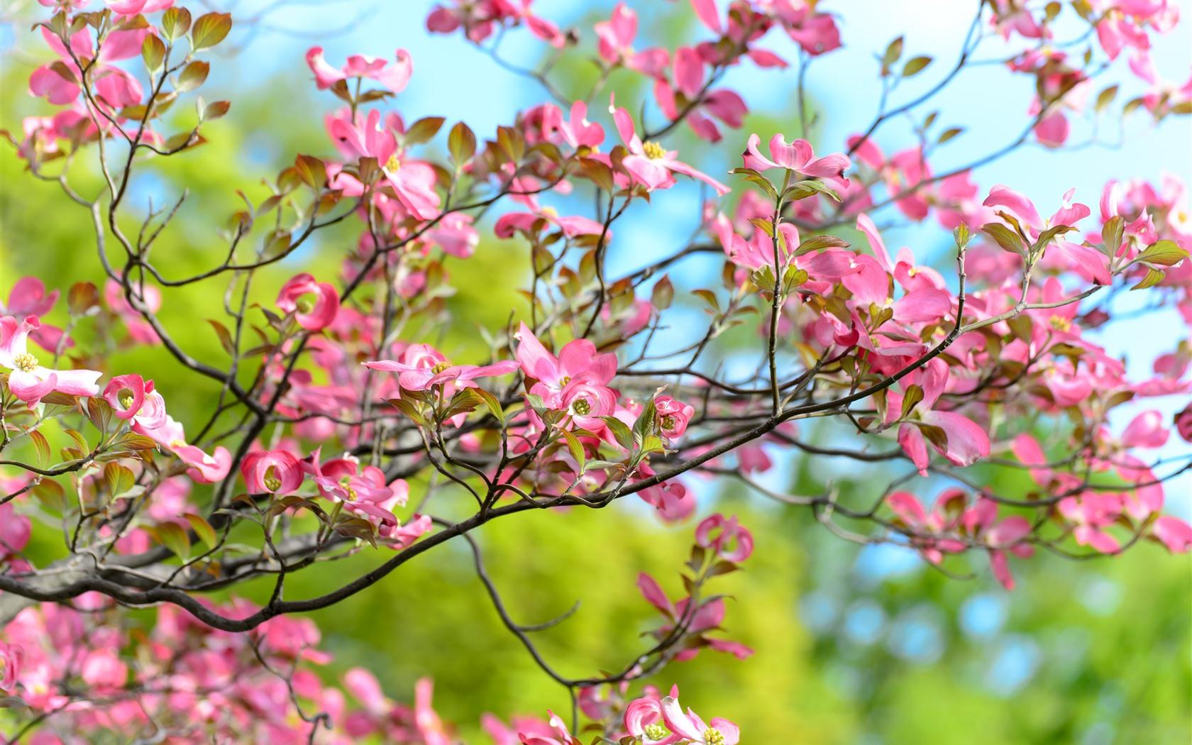 Fondos De Pantalla Flores Rosadas Crisantemo Fondo: Flores Rosas Florecen, Ramitas, Primavera. 1242x2688