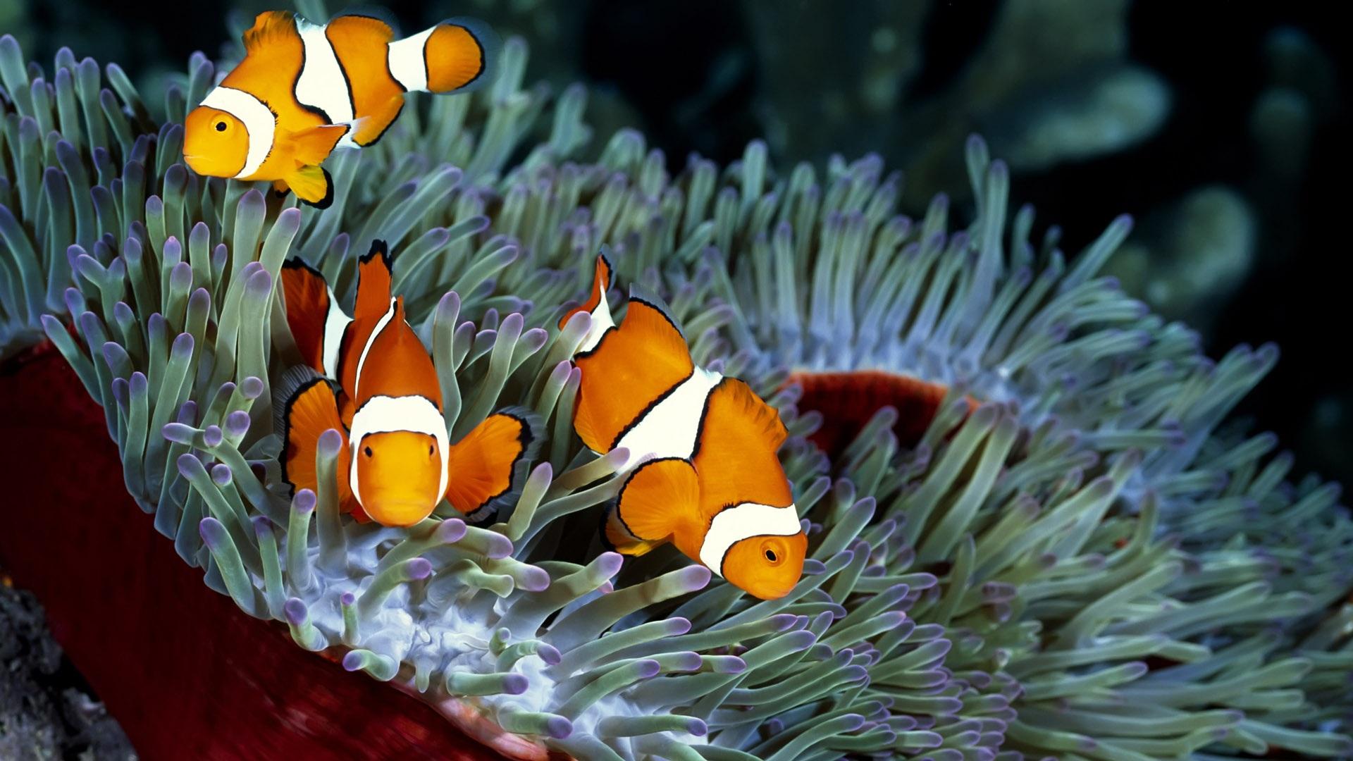 Three orange tropical fish and coral wallpaper 1920x1080 full hd
