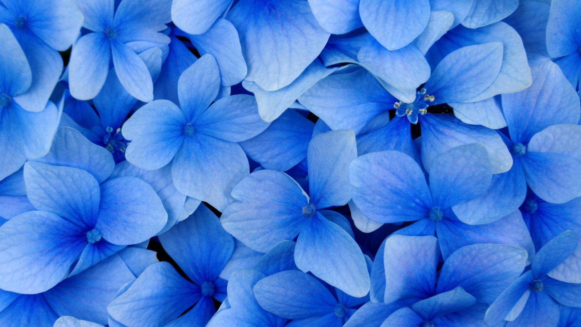 1920x1080 梅雨 の あじさい が 美しい壁紙 紫陽花 壁紙