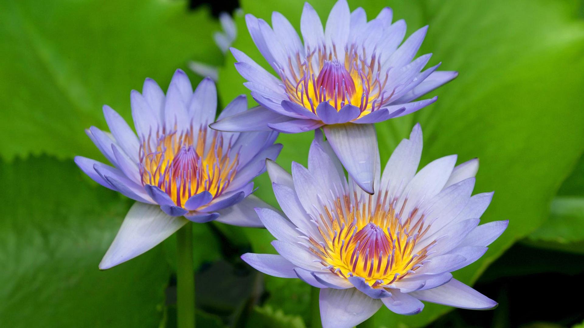 Lotus Bleu Fonds D Cran Description Trois Lotus Bleu