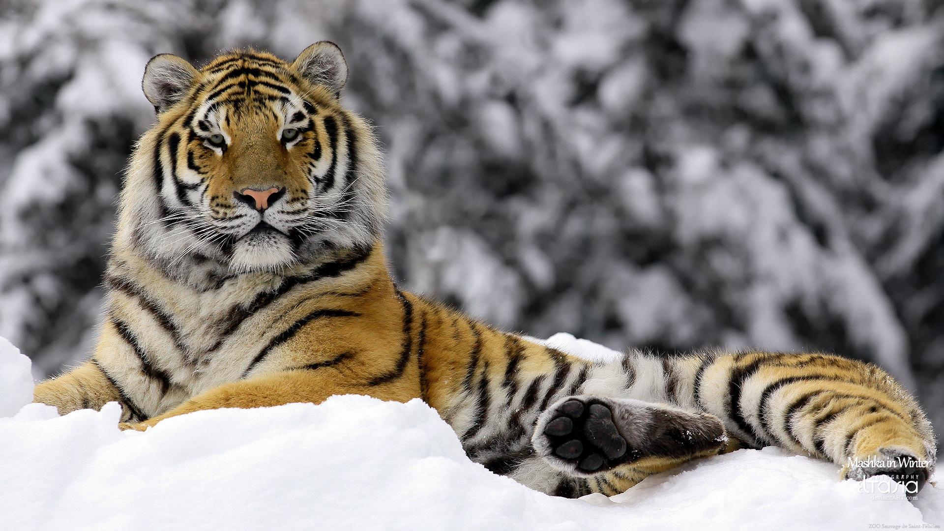虎の画像 p1_38