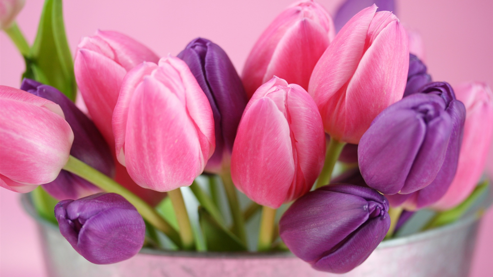 Wallpaper Pink And Purple Tulips Flowers 2560x1600 Hd Picture Image
