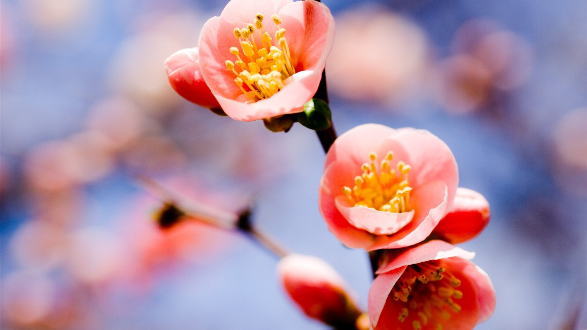 Iphone 5 Backgrounds Pink 壁紙 赤い梅の花...