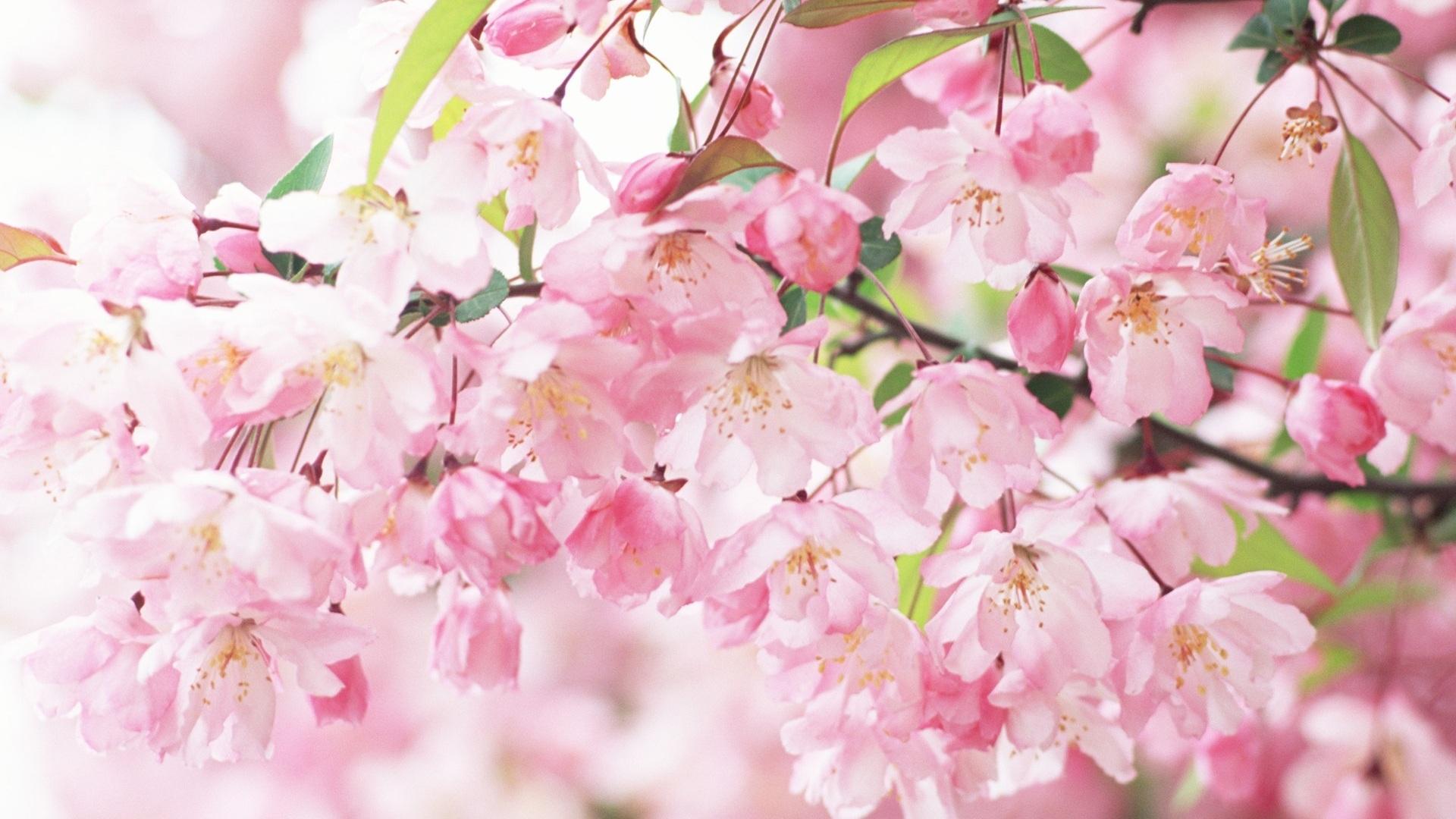 壁紙 桜の花びらピンク春 1920x1200 Hd 無料のデスクトップの背景 画像