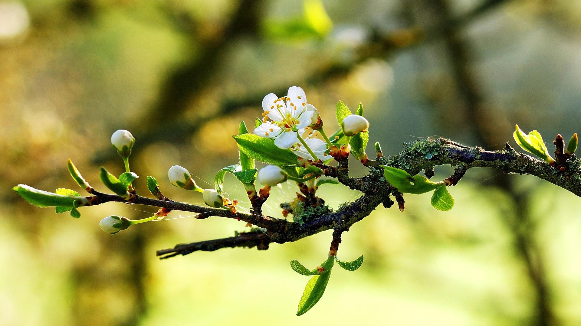 Flores de primavera blanca cálida en las ramas Fondos de pantalla  1920x1080...