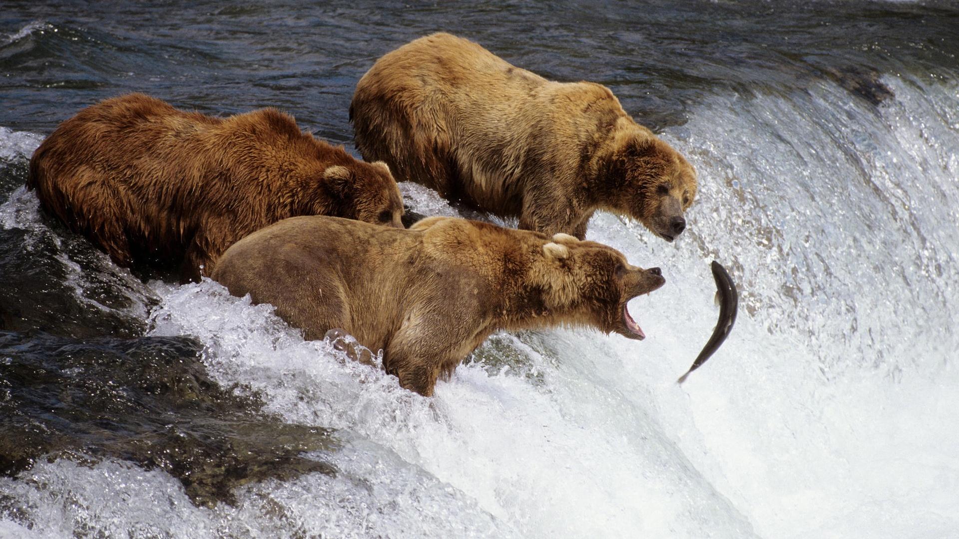 魚を捕ろうとする3匹の熊。
