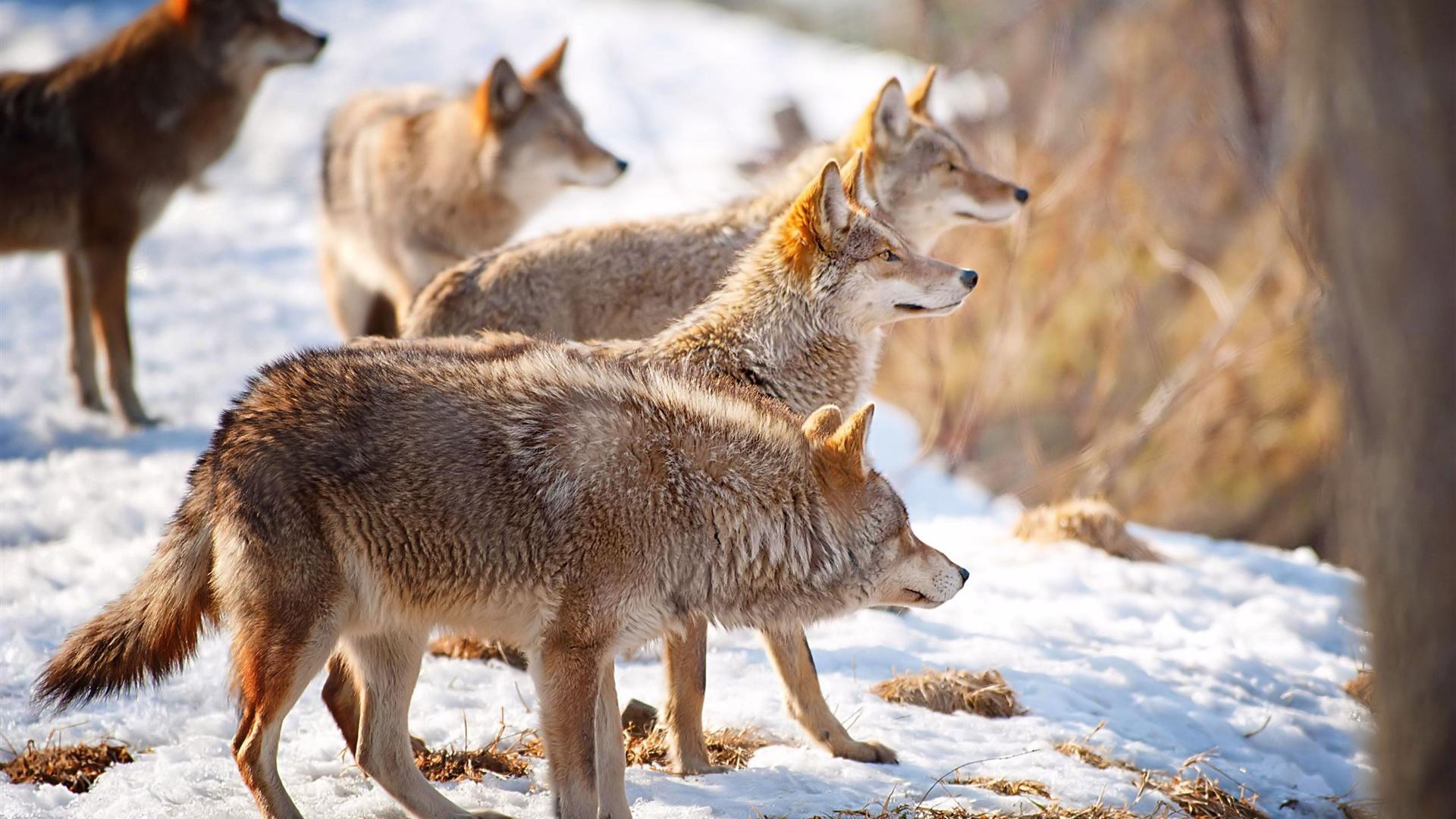 壁紙 雪の冬の飢餓の狼 2560x1600 Hd 無料のデスクトップの背景 画像