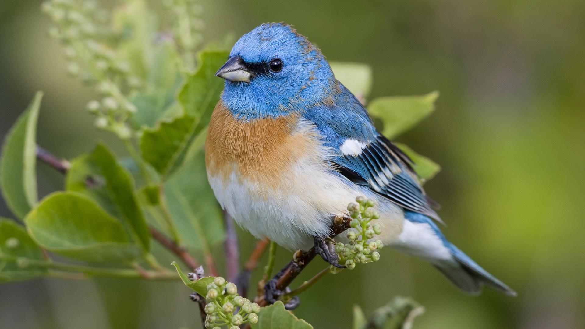 漂亮的蓝色鸟儿 壁纸 1920x1080