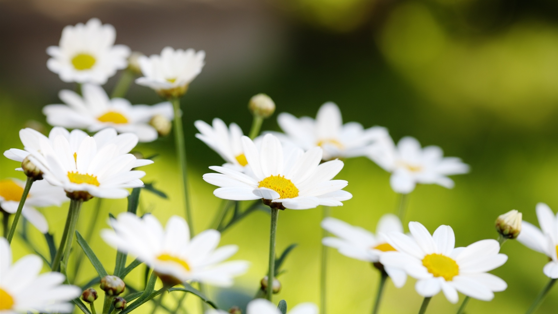 White daisies macro wallpaper - 1920x1080