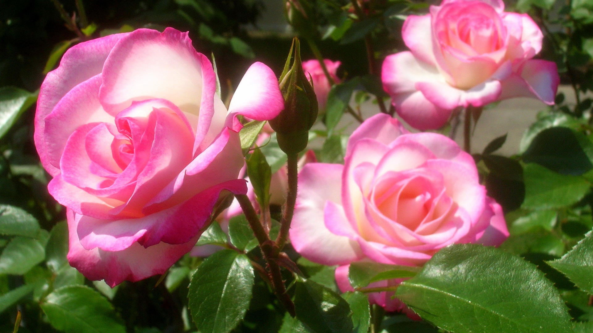 Bright pink roses wallpaper - 1920x1080