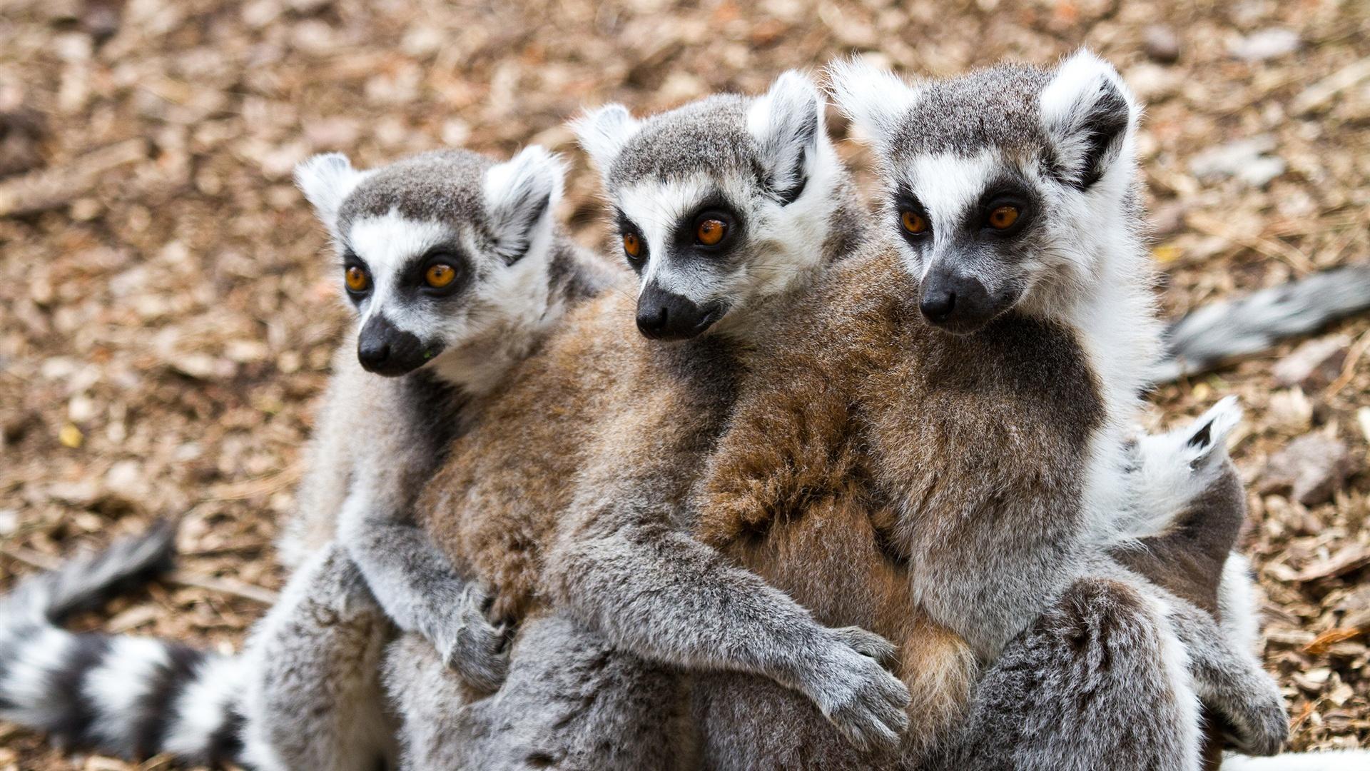 download wallpaper 3840x2160 lemur - photo #18